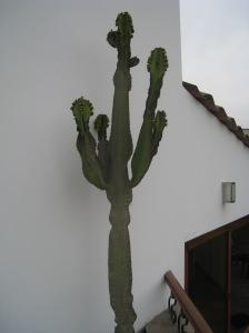 Bert the Cactus