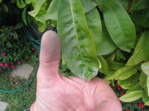 Thumb after rubbing on plant