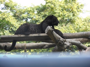 Picture of black leopard in Lima's zoo