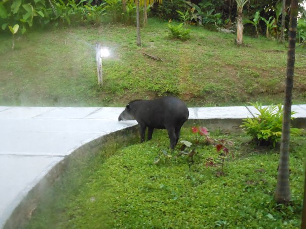 Tapir seen outside window in Peruvian Amazon jungle