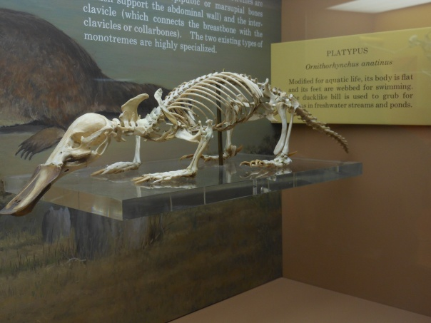 Platypus skeleton at Smithsonian Natural History Musuem