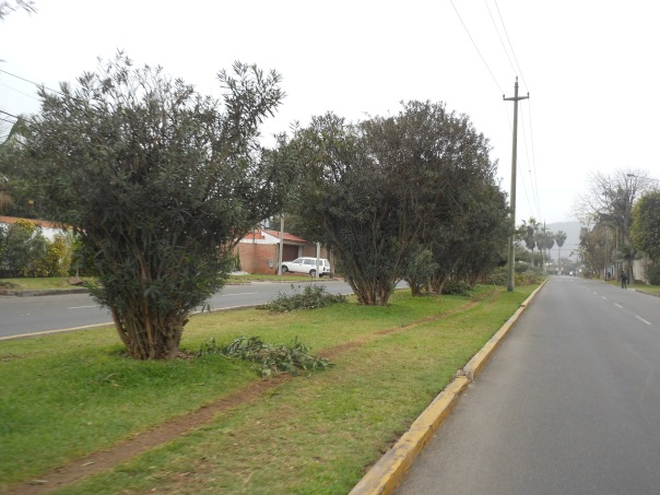 Trees on traffic island in La Molina, Peru
