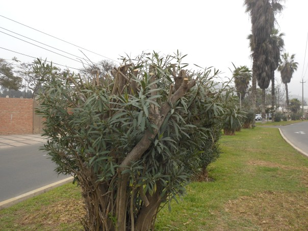 Trees on traffic island in La Molina, Peru