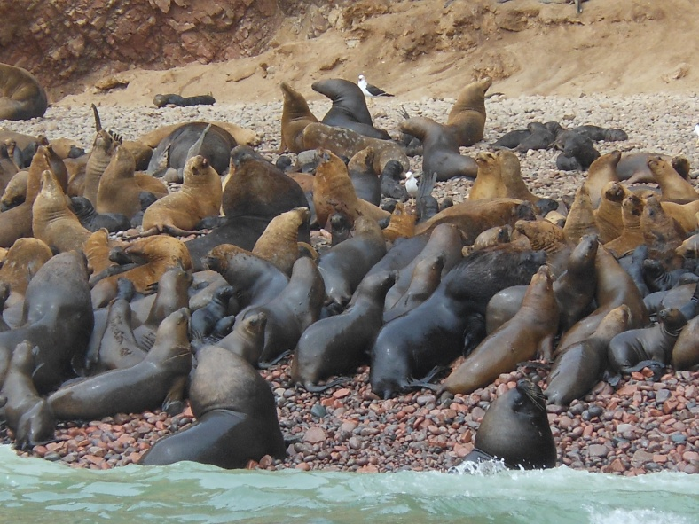 Wildlife at Paracas Natural Reserve