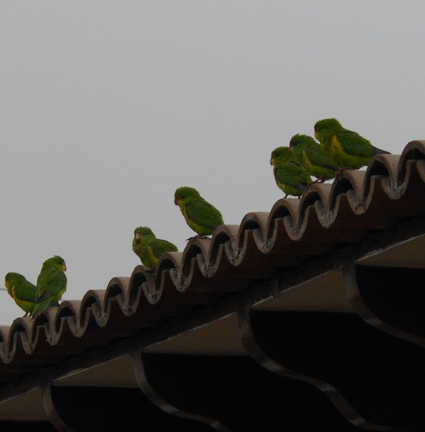 Parakeets on roof in Peru